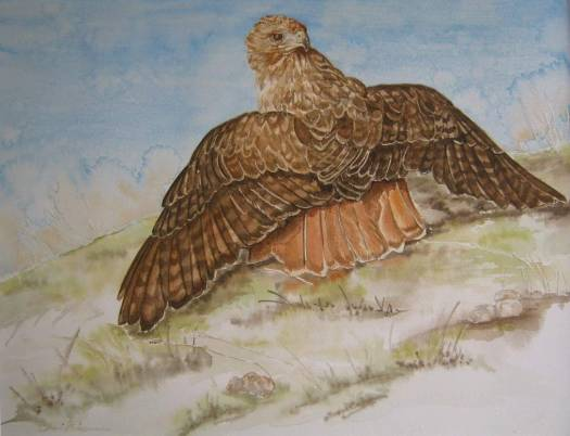sherri friesman red tailed hawk